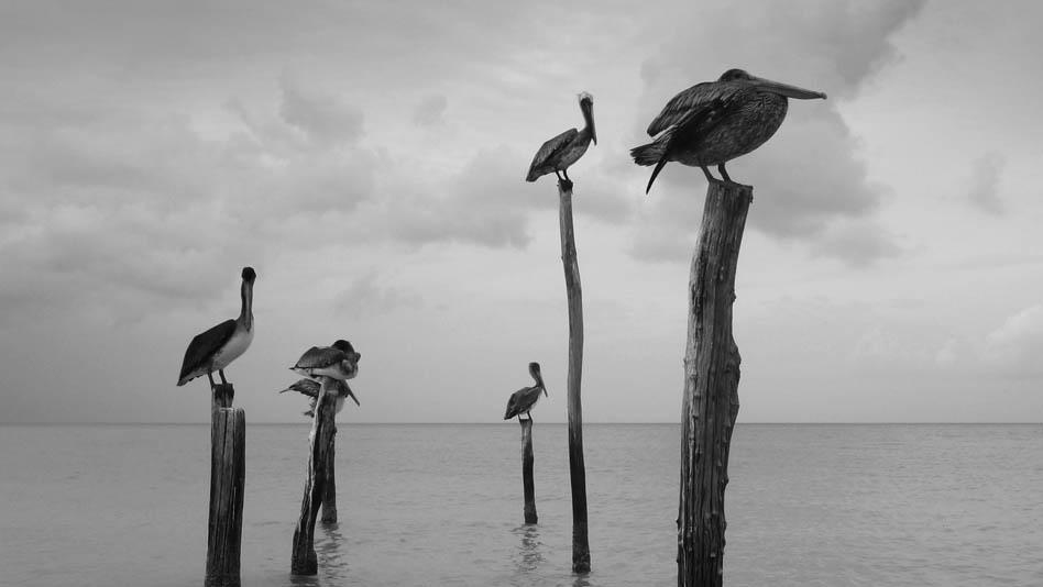 P1020279_pelican_home