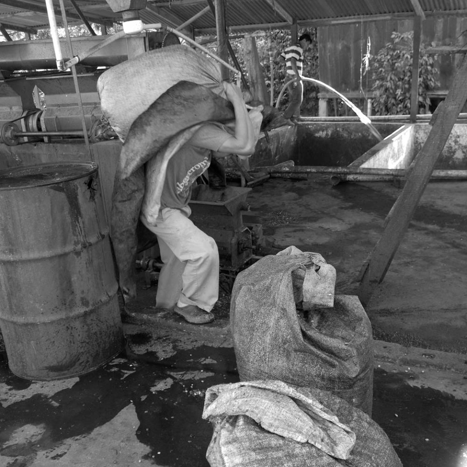 The peeled coffee beans are allowed to ferment overnight in large concrete fermentation tanks. The following day, they are washed, sacked, ad spread out in the sun for drying.
