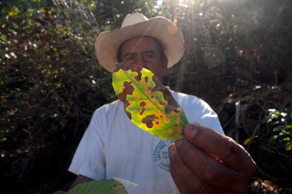 "Elias, coffee farmer and small landowner stands among the plants of his small plot holding up a coffee leaf badly affected by ""la roya"" or leaf rust, an epidemic that has recently been sweeping through the region, decimating production and badly affecting growers."