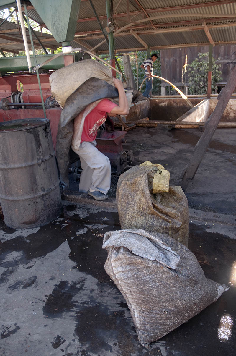 There are no wheelbarrows or other carts: all the coffee is carried on the back. In case of wet beans, this means hoisting quite a hefty load: upwards of sixty pounds. In the background, an operator washes the fermenting beans towards the pump that will propel them to the washing troughs.