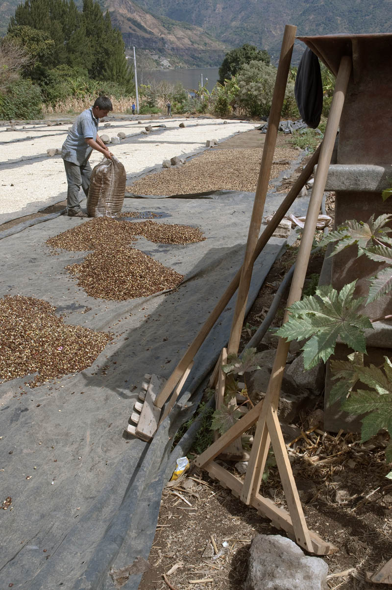 The sacks of wet, fresh beans are dumped onto the plastic tarps and then spread into a thin layer by means of hand-made rakes, in the foreground.