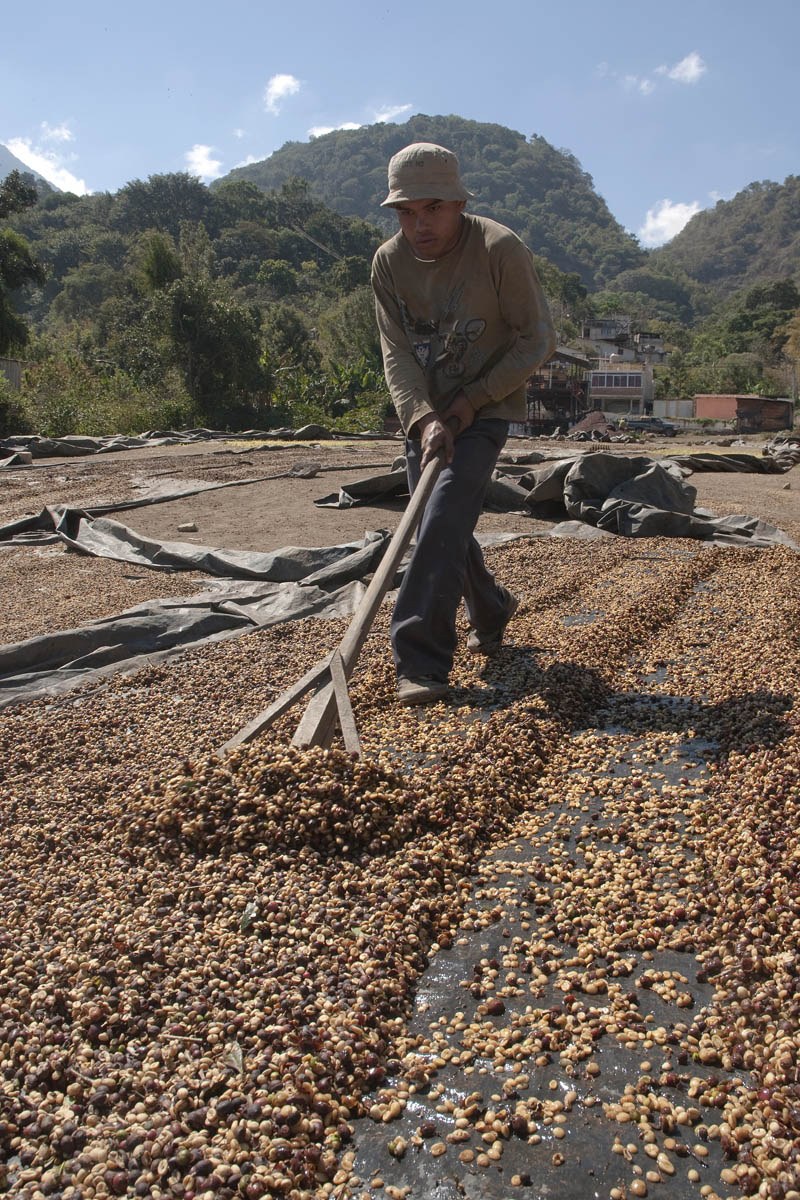 In order to ensure proper, speedy drying, the coffee beans must be turned over with a rake every few hours. Complete drying requires a few days, and the coffee must be sacked every night.