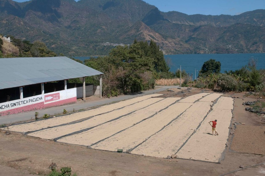 A large expanse of sun drying coffee beans on the shores of Lake Atitlan, in San Pedro de la Laguna, Solola', Guatemala. An operator is raking the beans for ideal drying.