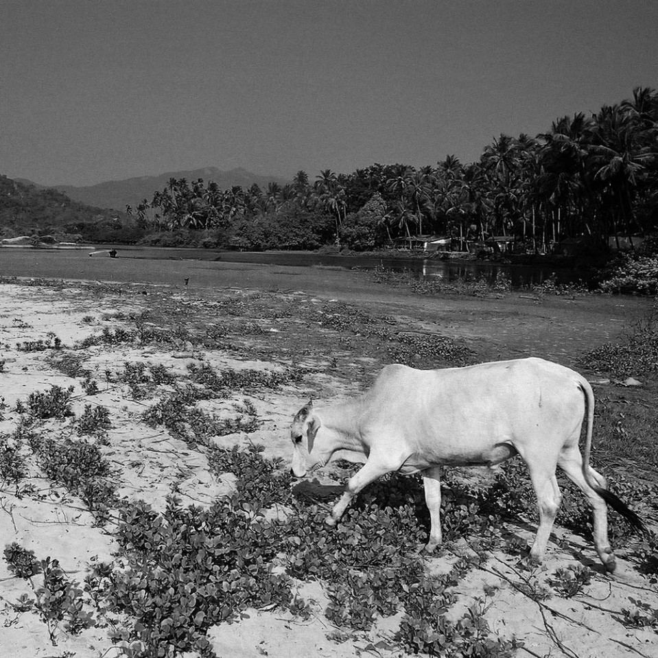 Mooooving slowly, somewhere in Goa.