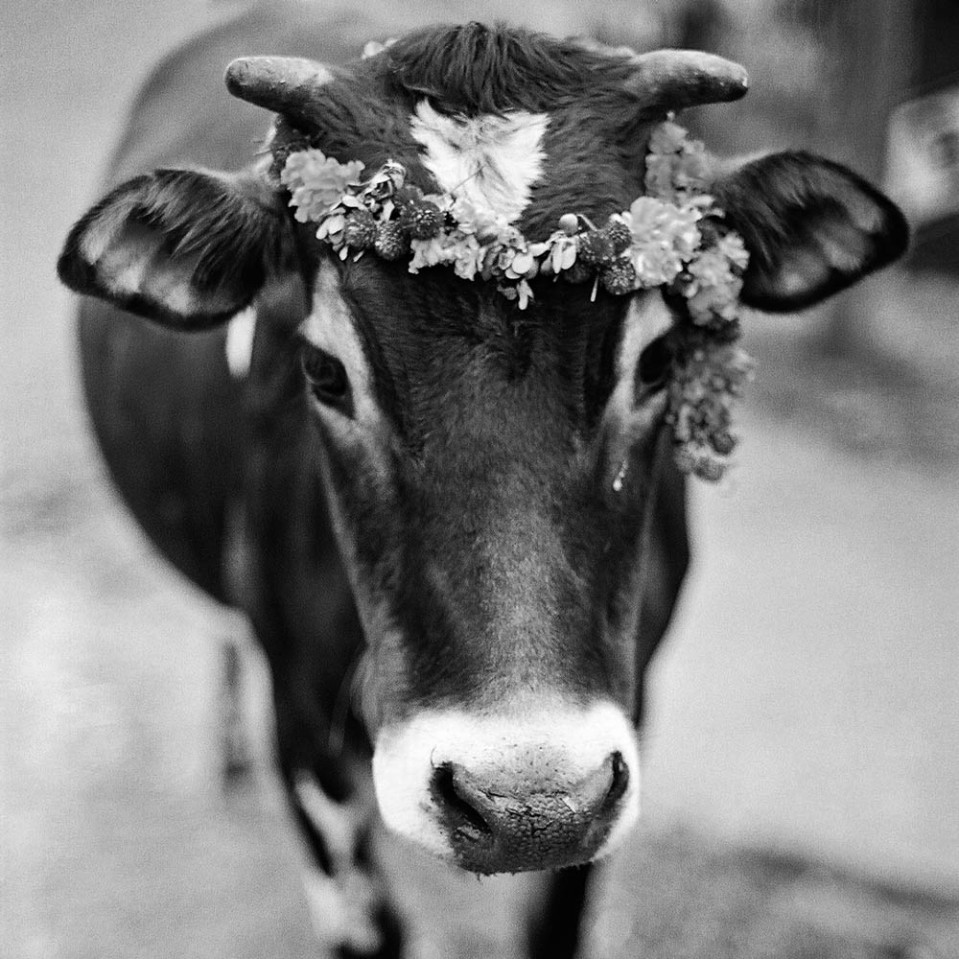 Tiny but lovely. This little cow stood no more than chest high, but she looked just stunning in her flower wreath.