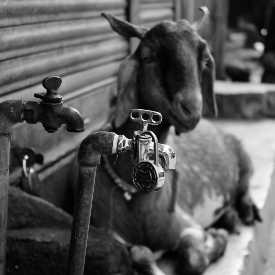 Someone kept stealing my water, so i got a watchgoat. That didn't work out, so i had to get a lock for the faucet... and now i'm stuck with the goat!
