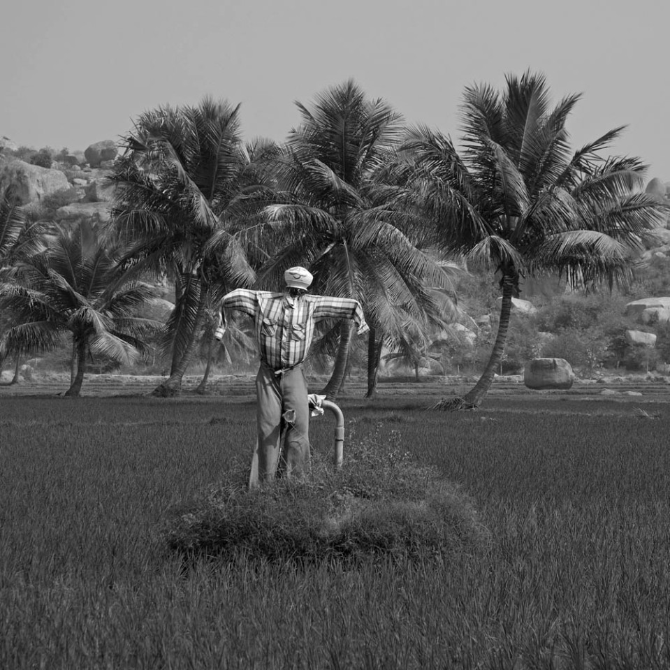 In fact, some people seem to think there are too many animals in and around Hampi. This rice farmer in particular could do with fewer crows...