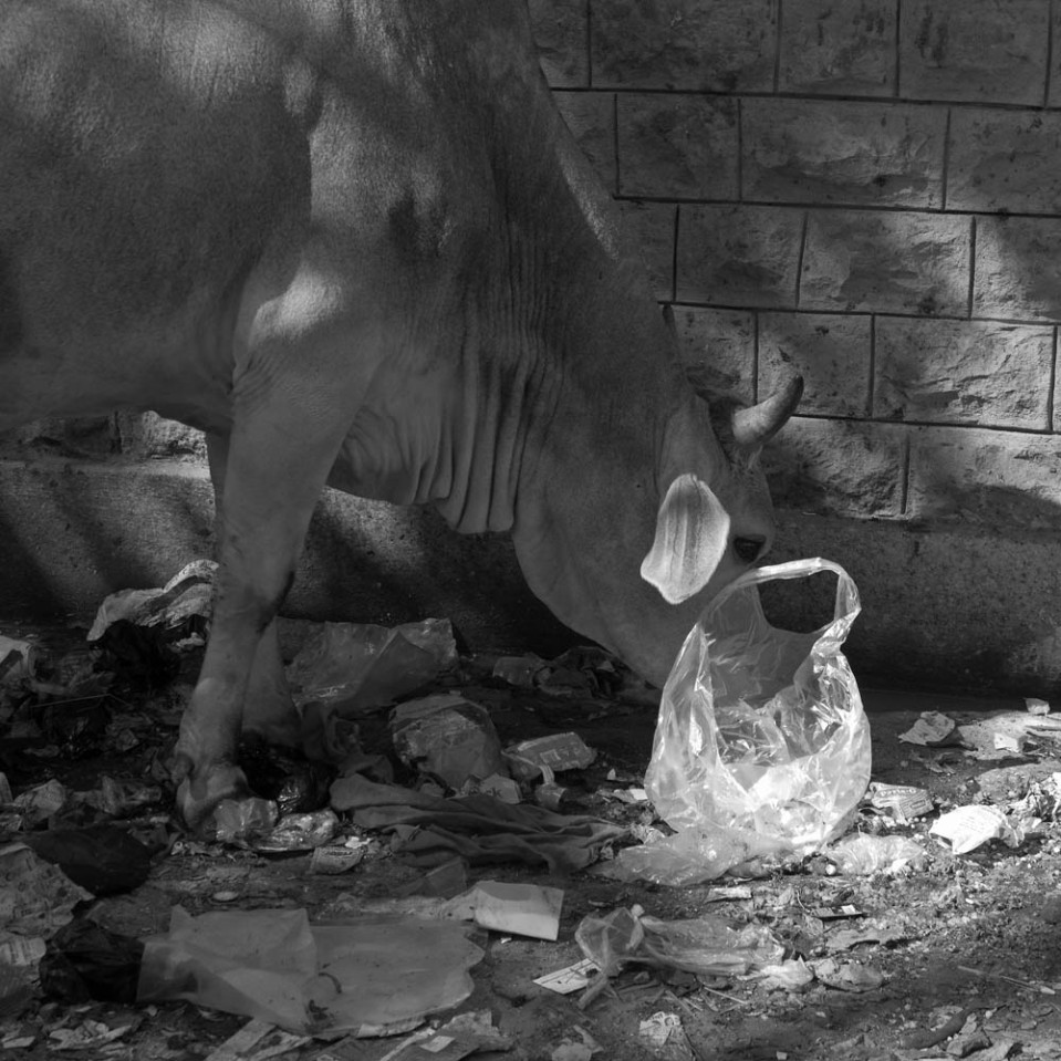 Of course, allowing cows to feed on trash is one way to get rid of at least some of Indian rubbish. Enjoy your burger!