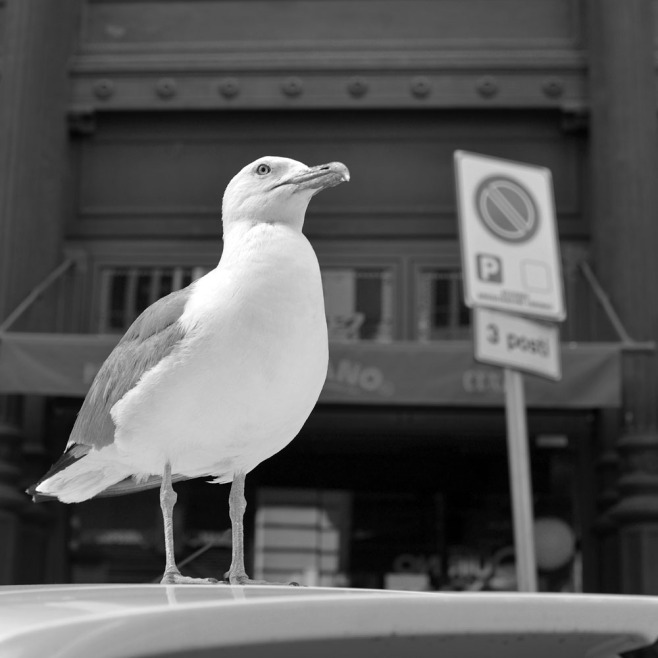 They are big, they are beautiful, and they are increasingly bold. This seagull allowed me within maybe 50 centimeters without flinching.